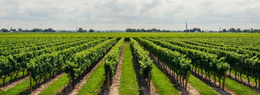 vendimia,vino,recogida,rias baixas,valdeorras,ribeiro,ribeira sacra,monterrei
